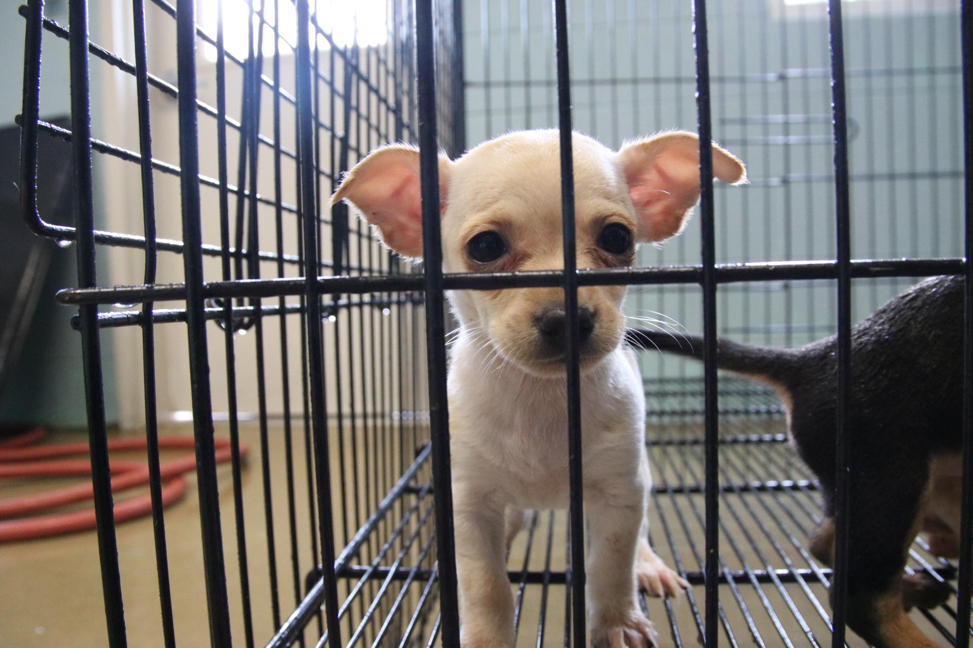 Chihuahuas Rescued - Atlanta Humane Society