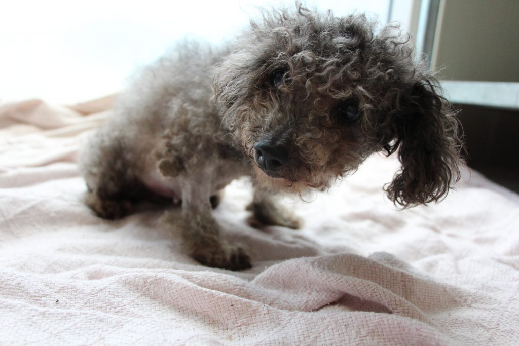 [Pictured] Smooches a 15 year old Poodle who has messy fur and looks sad.