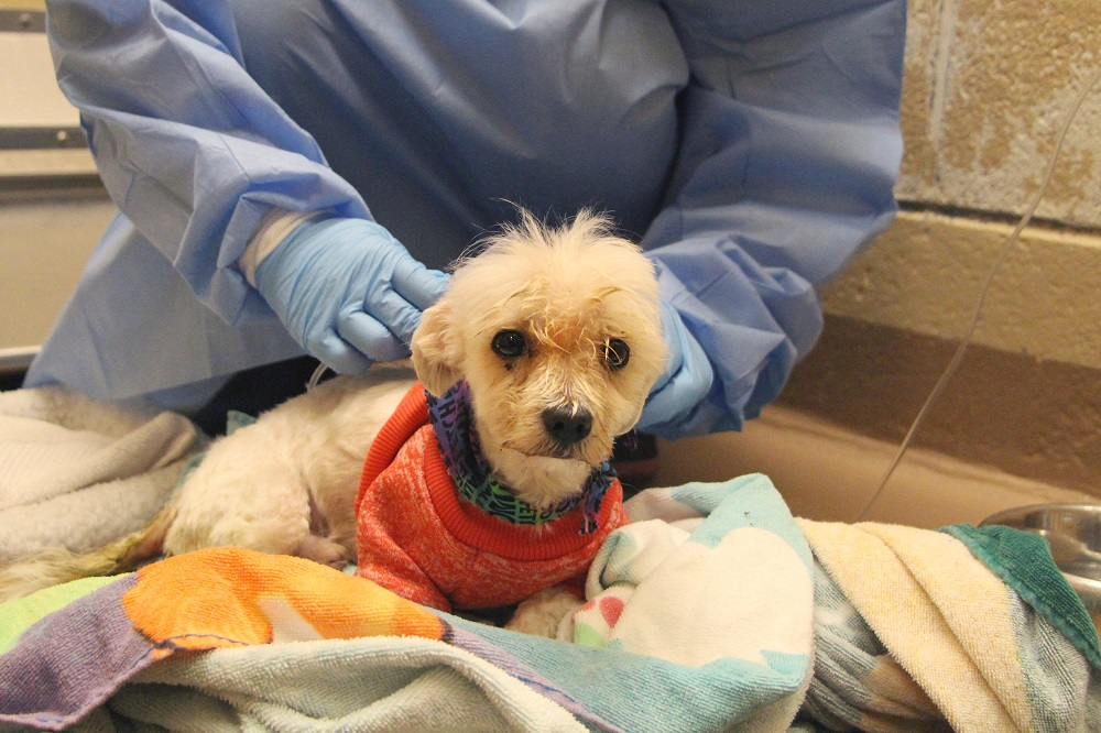 Dog affected from Parvo