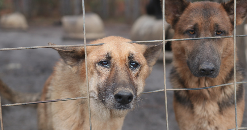 Two of the 165 German Shepherd Dogs Rescued
