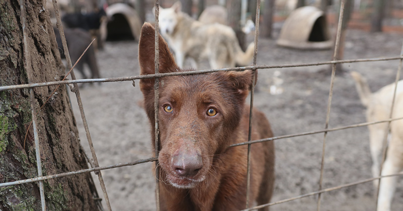 One of the 165 German Shepherd Dogs Rescued