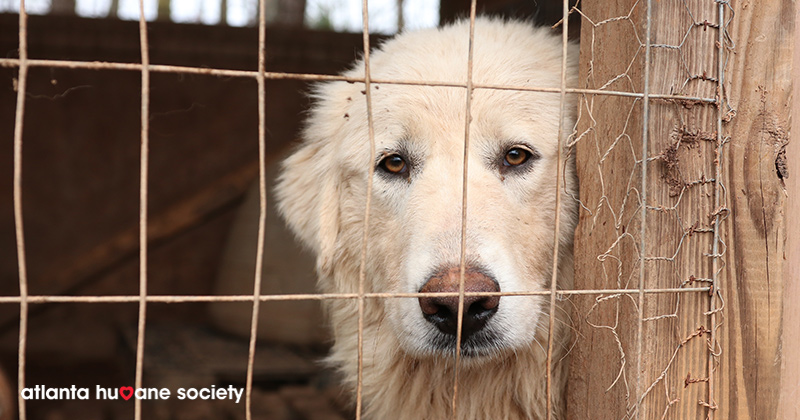 One of the Golden Retrievers rescued from a puppy mill in Georgia