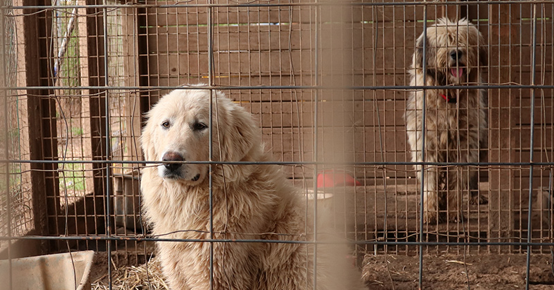 Two of the dogs rescued from a puppy mill in Georgia