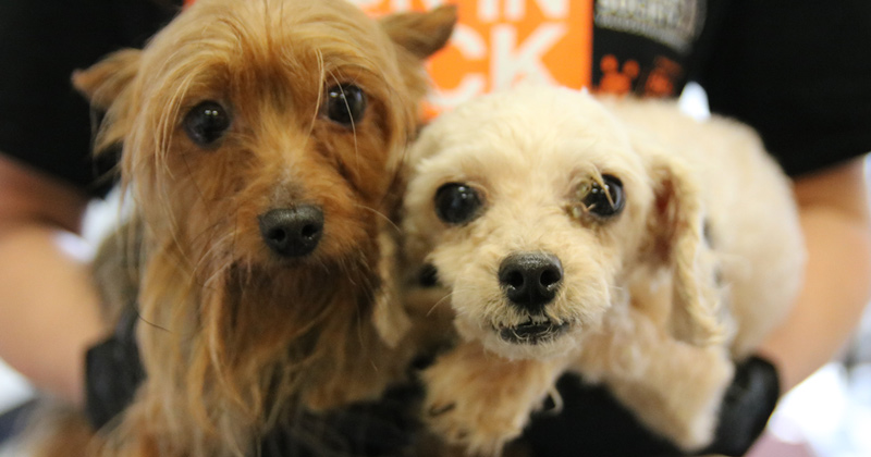 Two of the dogs rescued from a small breed puppy mill