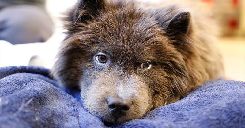 Teddy, preparing for surgery