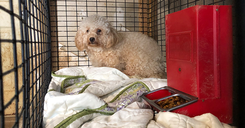 Maltipoos Rescued from Puppy Mill