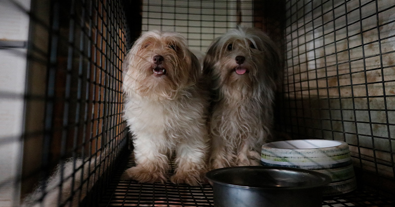 Two of the Miltipoos rescued from a property in Monroe County
