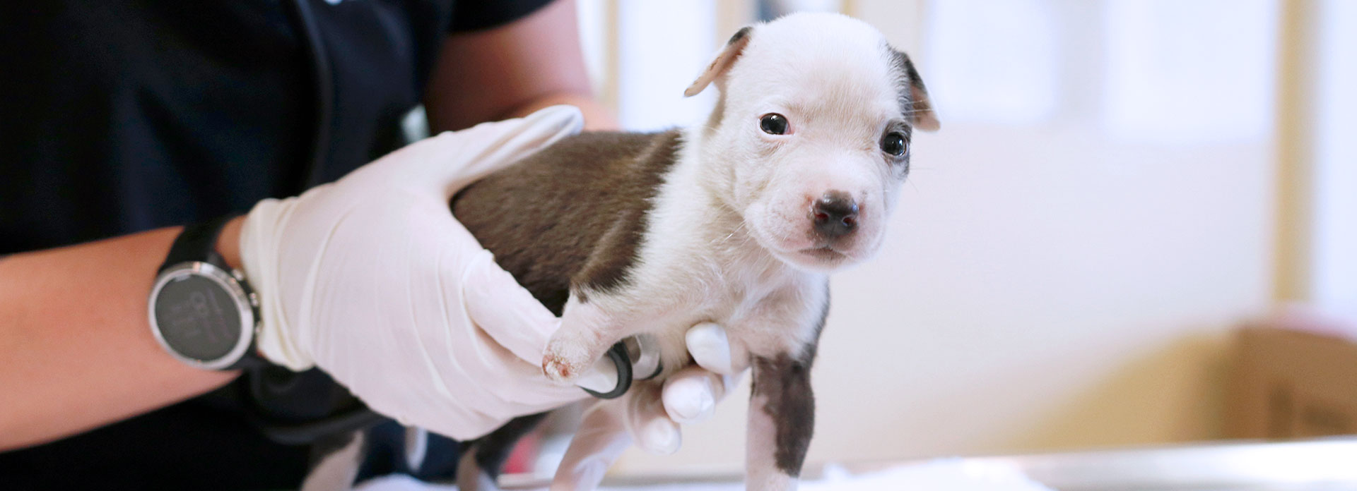 Donate to save animals like this injured puppy being examined by a veterinarian