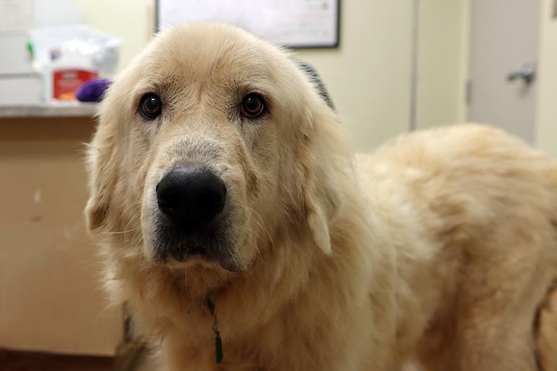 Keystone Great Pyrenees Dog Sad Rescued South Georgia